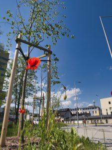 Sąsiedztwo skrzyżowania ulic Cieszyńskiej z Wapienicka. Kwitnący czerwony mak, a za nim drzewko liściaste posadzone w ramach nasadzeń zieleni